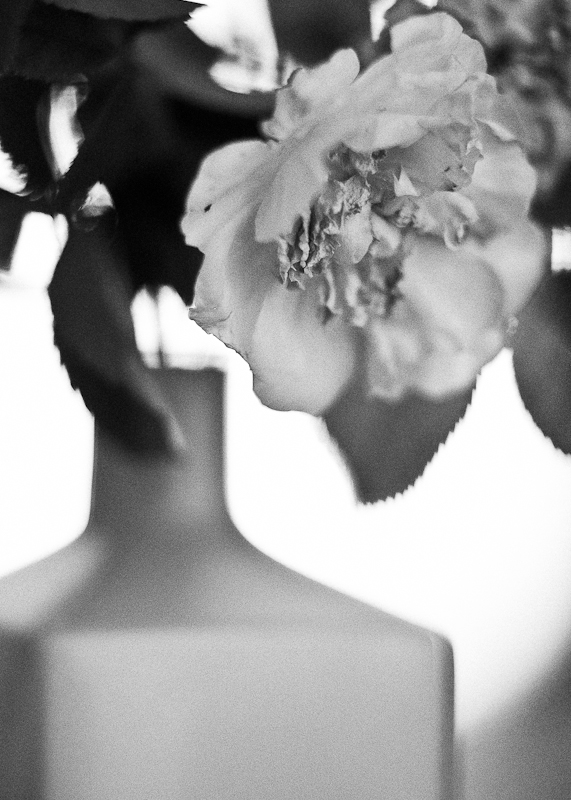 Dying Tea Rose