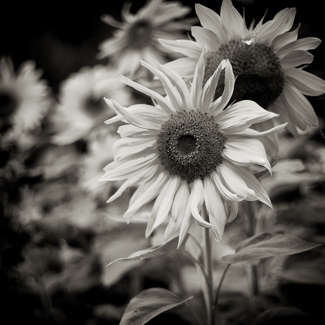 Sepia Sunflowers