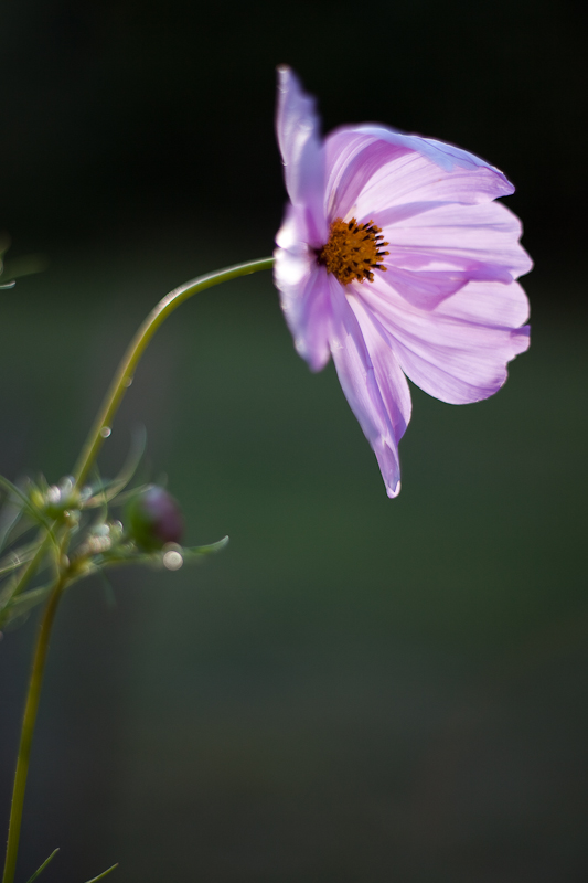 Backlit Cosmo After Rain #1