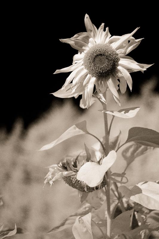 Lone Sunflower IR