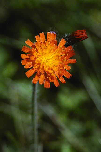 Orange Hawkweed Pair