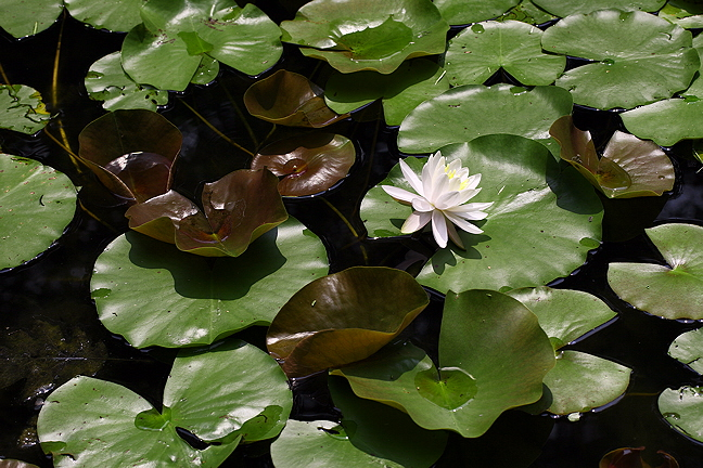 Water Lily #2