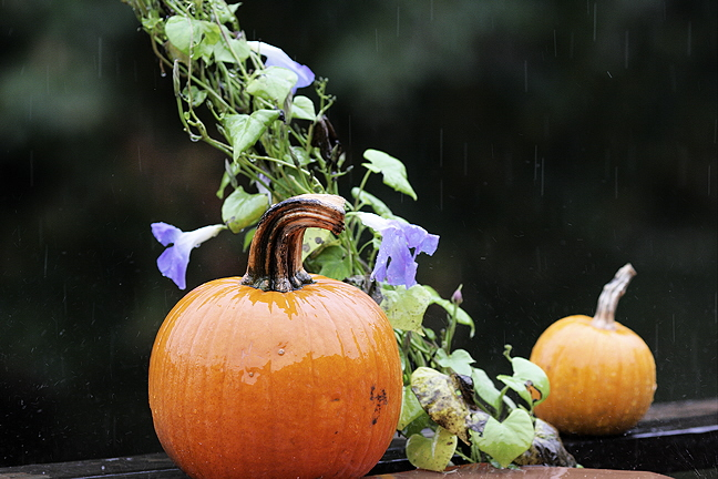Pumpkins and Morning Glories in the Rain