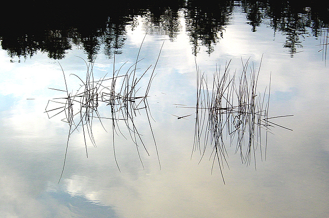 Reeds in Little Long Pond