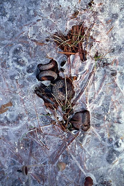 Frozen Acorns