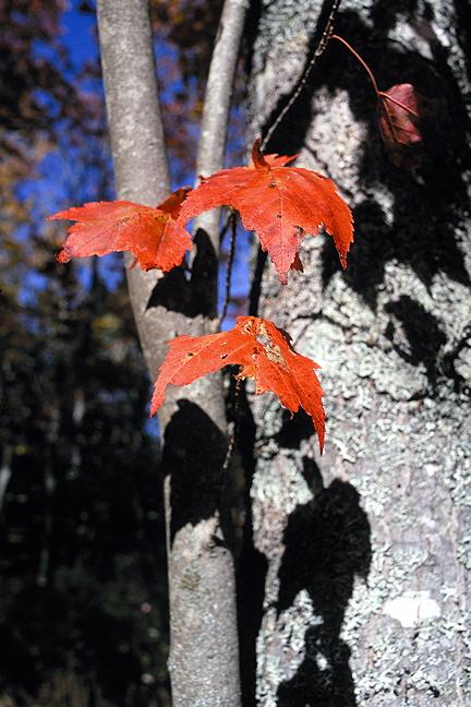 Autumn Leaf Trio