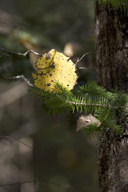 Aspen Leaf on Pine