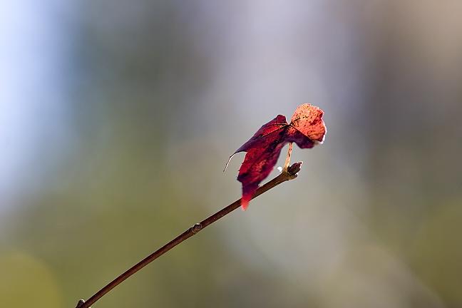 Last Red Leaf on Twig