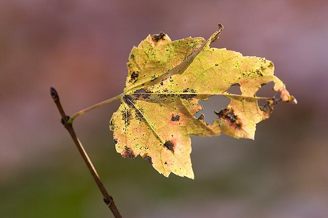 Last Yellow Leaf on Twig #1