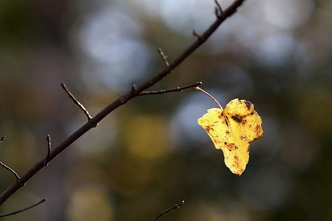 Last Yellow Leaf on Twig #2