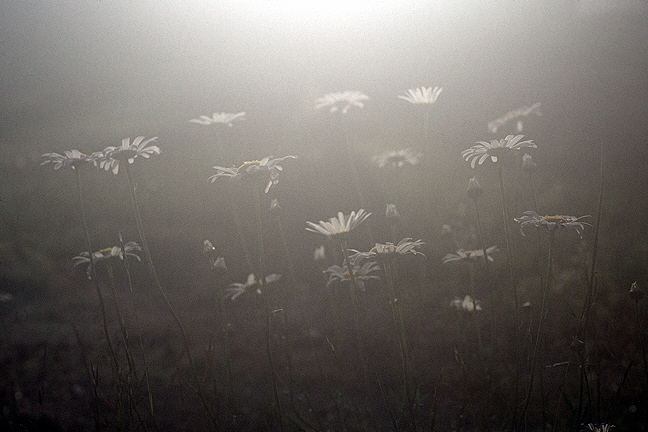 Daisies in Late Day Fog