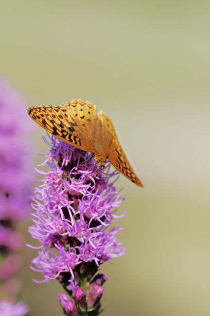 Great Spangled Fritillary Butterfly (Speyeria cybele) on Liatris