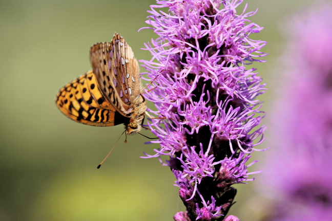 Great Spangled Fritillary Butterfly (Speyeria cybele) on Liatris, Profile
