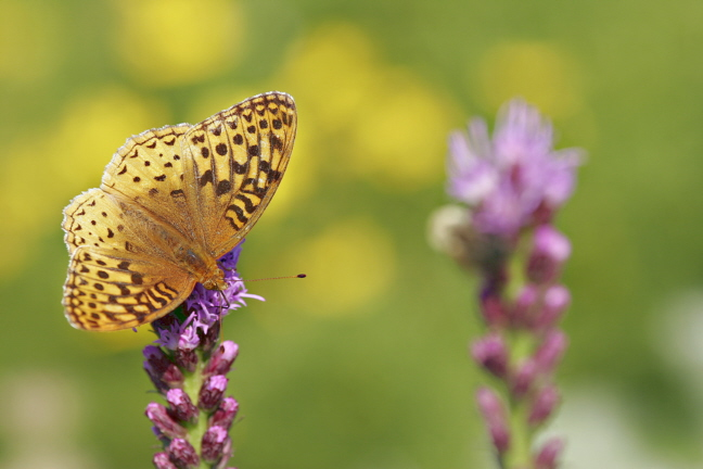 Great Spangled Fritillary Butterfly (Speyeria cybele) on Liatris by coreopsis