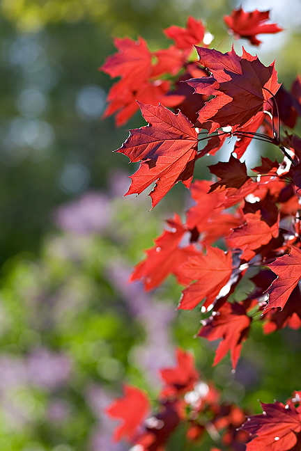 Red Maple by Lilacs