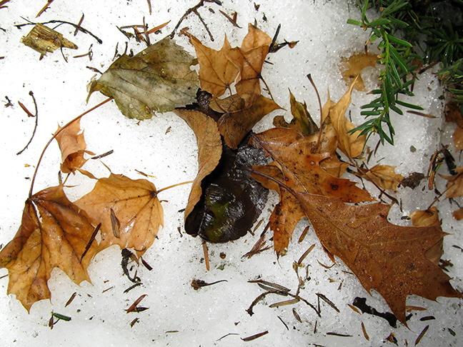 Leaves on Snow #1