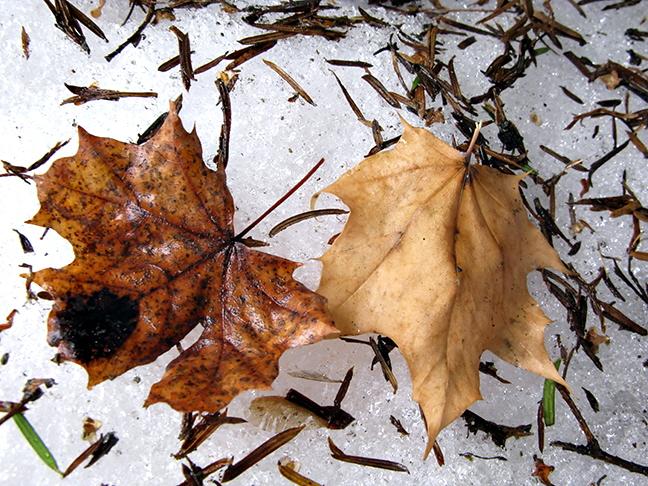 Maple Leaf Pair on Snow