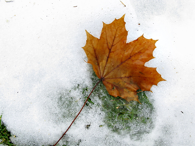 Lone Maple Leaf on Snow #1