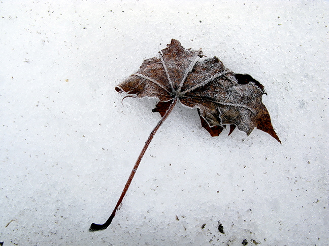 Lone Maple Leaf on Snow #2