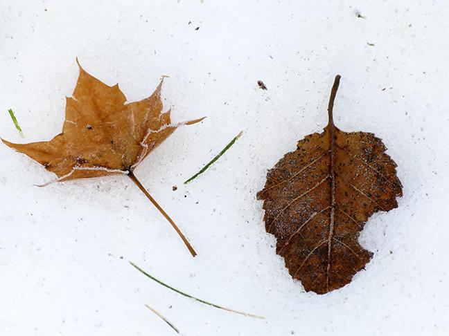 Leaf Pair on Snow