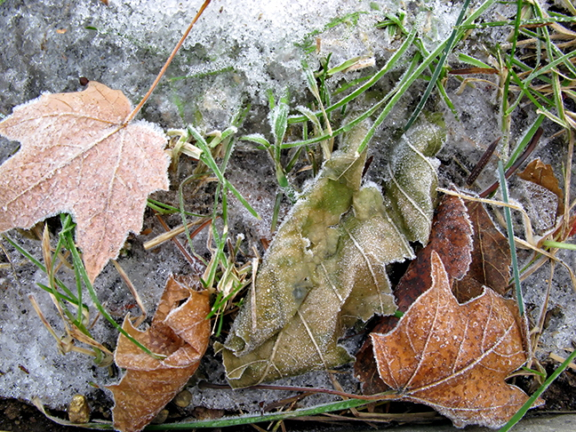 Frosted Leaves #1