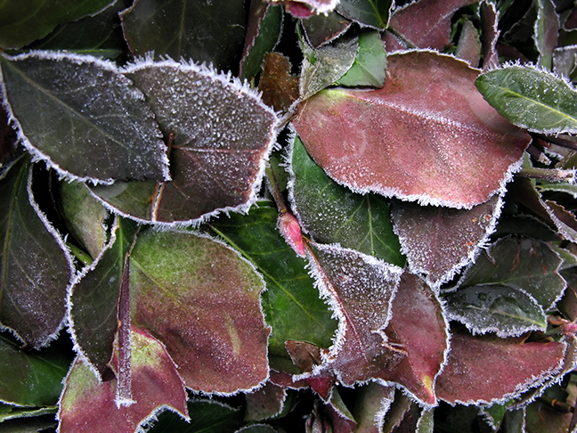 Frosted Hedge Leaves