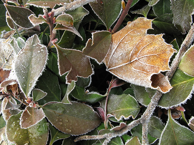 Frosted Maple Leaf in Hedge