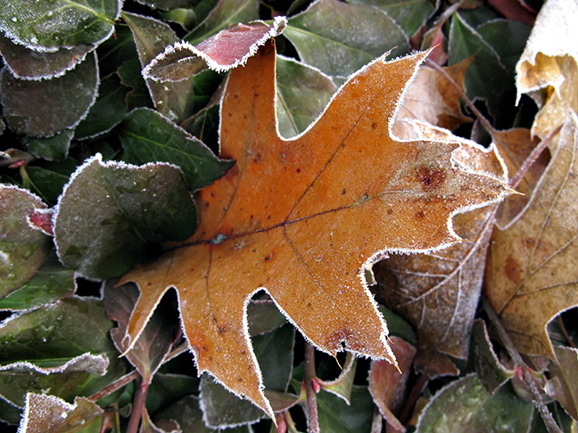 Frosted Oak Leaf in Hedge