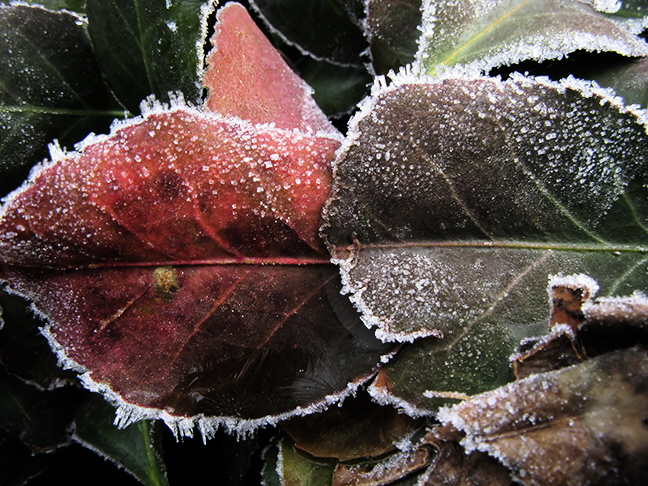 Frosted Hedge Leaf Pair