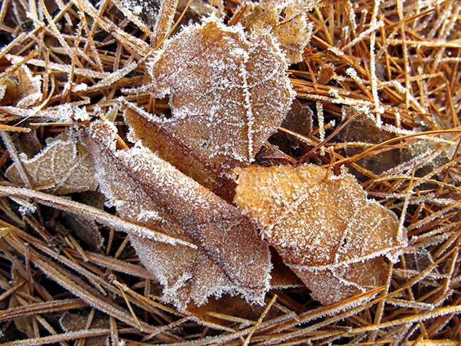 Frosted Leaves in PIne Needles #3