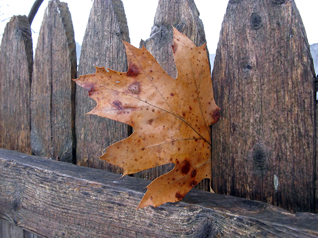 Oak Leaf in Fence