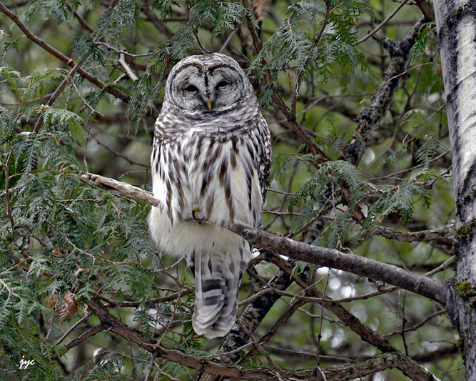 barred owl / chouette raye.