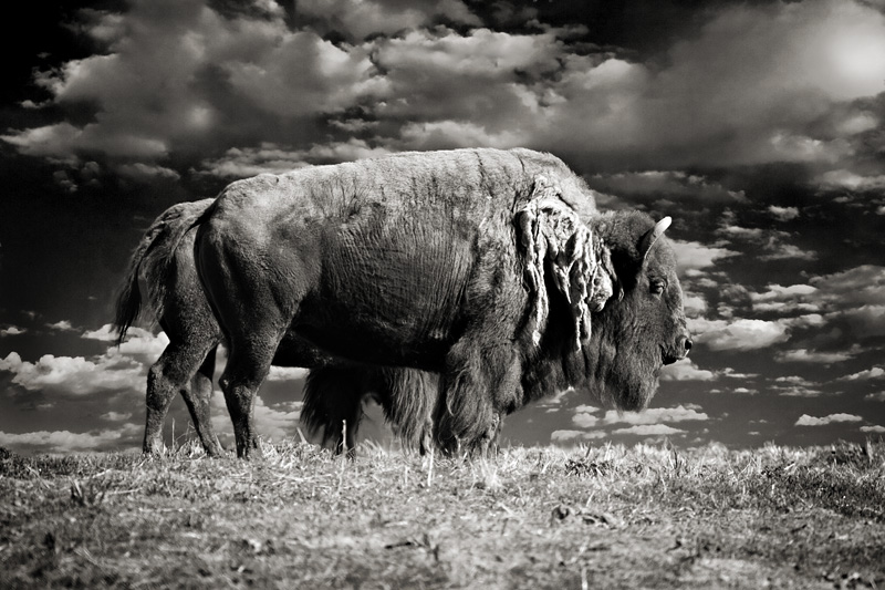 2nd Place<br>American bison<br>by Michael Puff