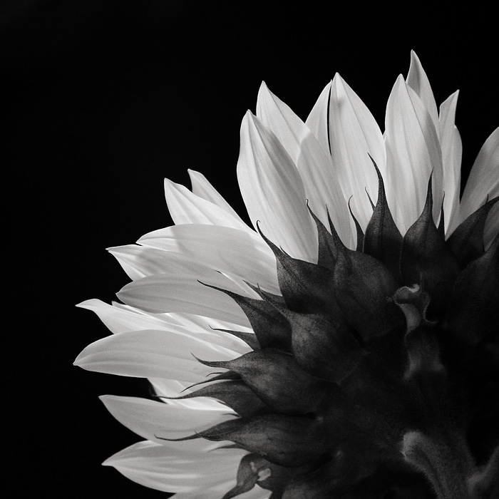 <b>8th Place</b><br>sunflower<br>by Michael Puff