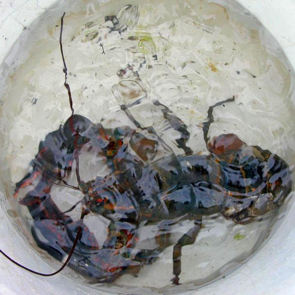 Lobster Bucket *