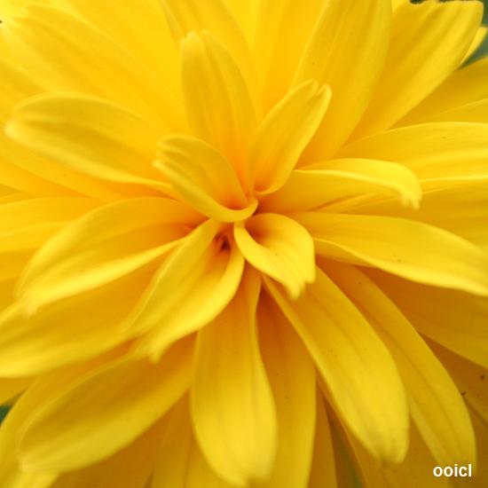 Yellow petals *