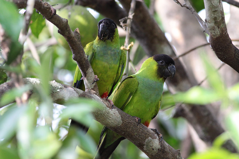 Black-hooded (Nanday)  Parakeets