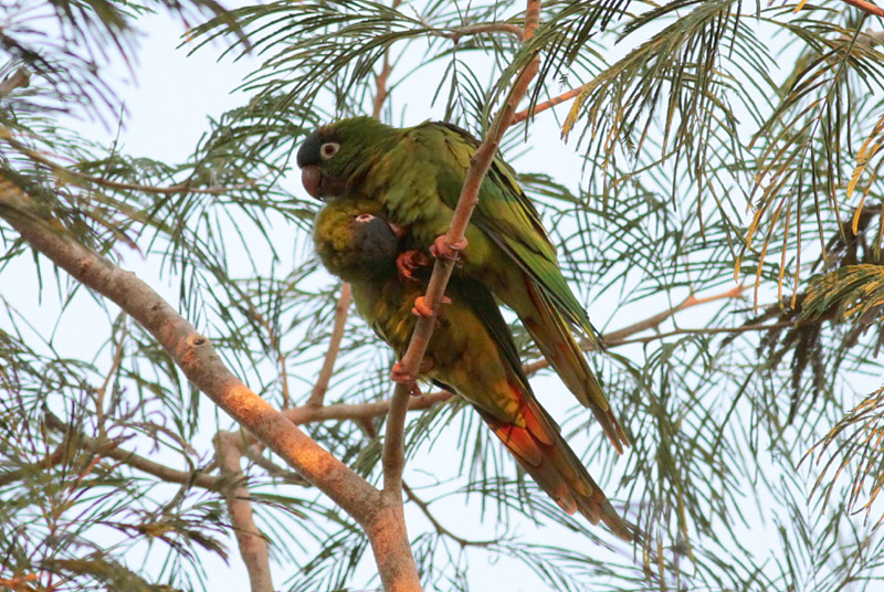 Blue-crowned Parakeets