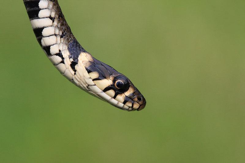 Grass snake Natrix natrix belou¹ka_MG_2398-11.jpg