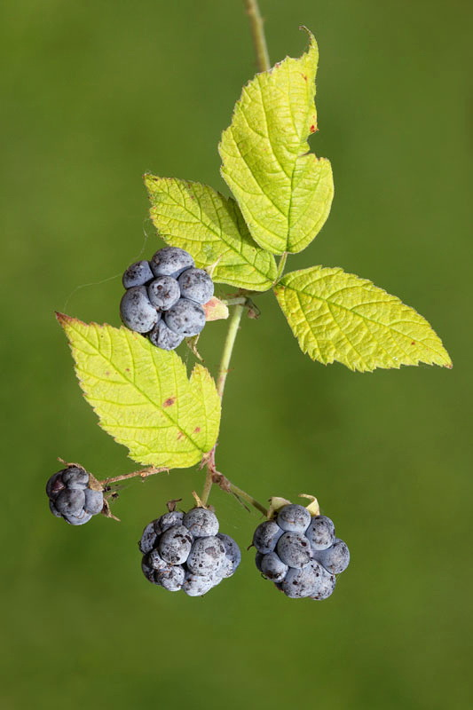 European dewberry Robus caesius sinjezelena robida_MG_7024-11.jpg