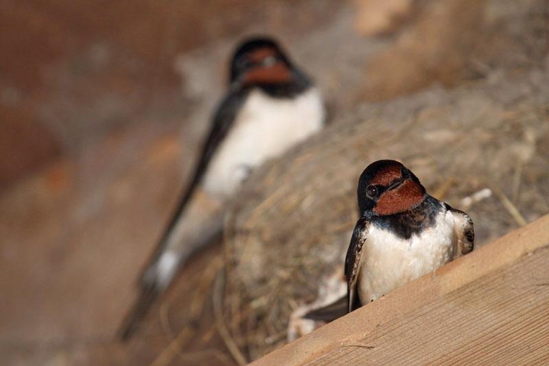 Barn swallow Hirundo rustica kmečka lastovka_MG_3131-11.jpg