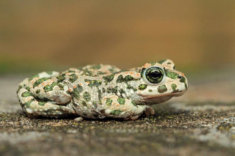 Green toad Pseudepidalea (Bufo) viridis zelena krastača_MG_5329-11.jpg