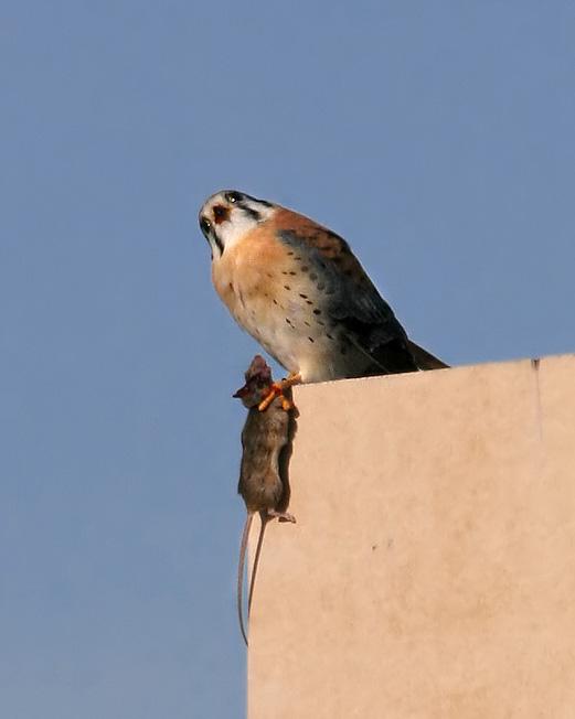 Sparrow Hawk & Mouse