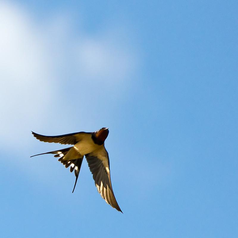 Swallow in flight!