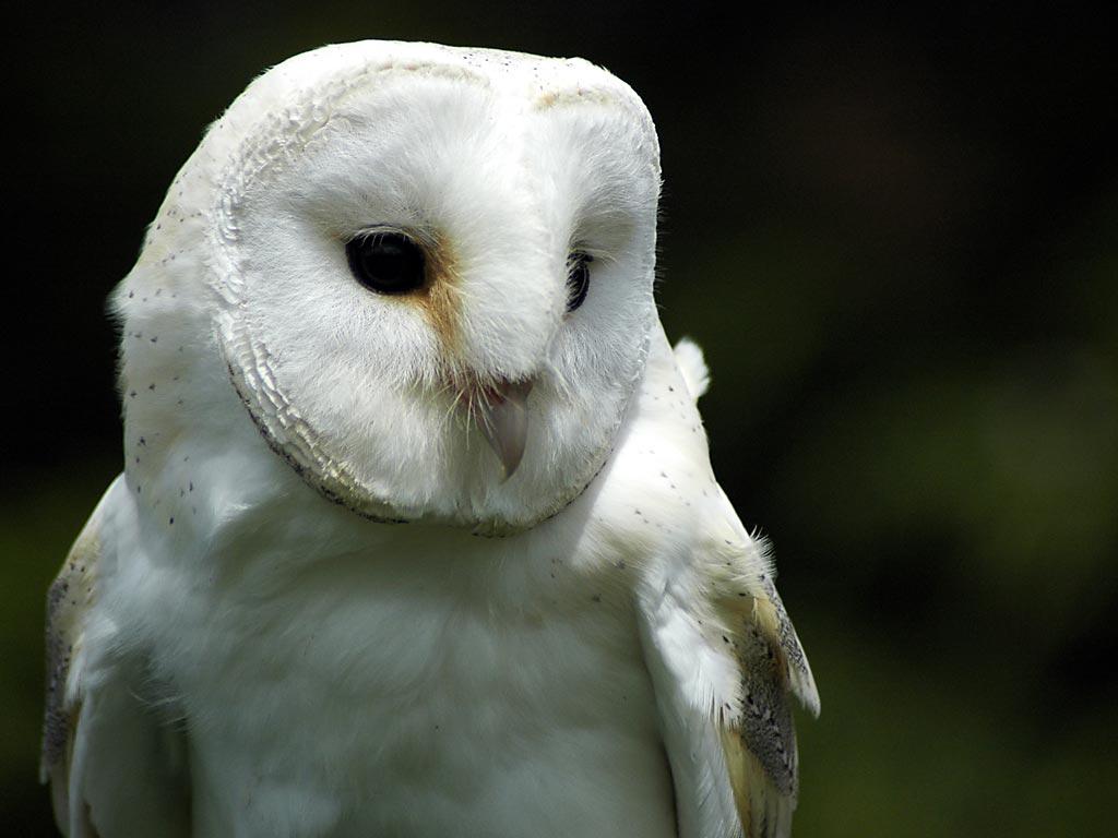 Barn owl, Bossington (5657)