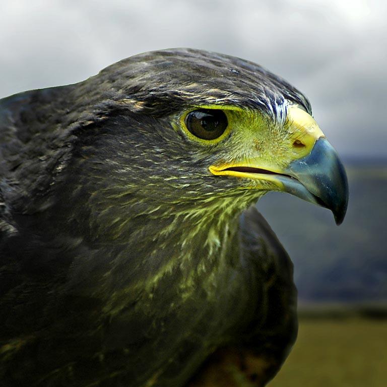 Harris hawk, Bossington