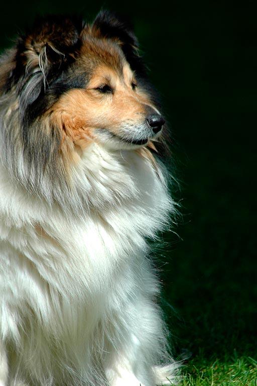 Collie dog, Widecombe-in-the-Moor, Devon