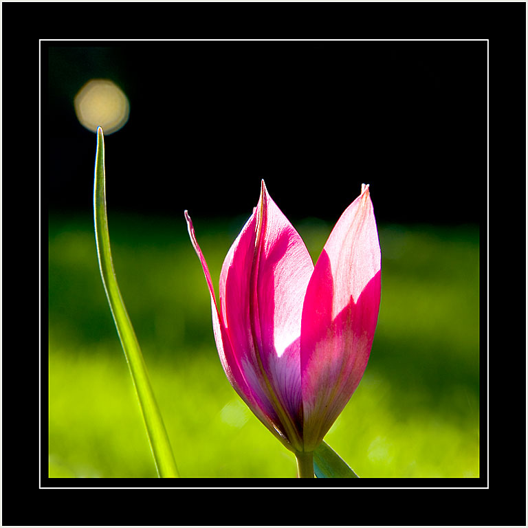 Bead and tulip (4642)