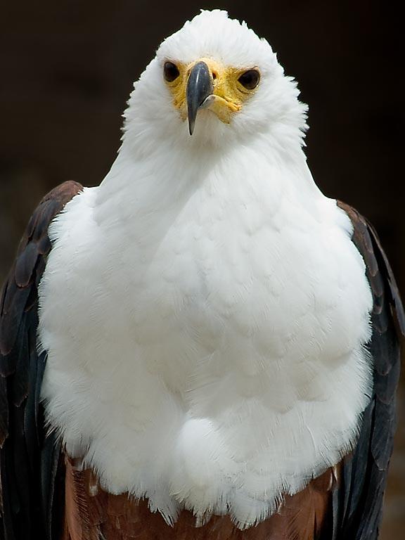 African fish eagle, Benalmadena