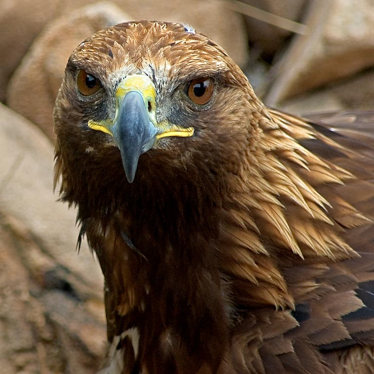 Golden eagle looks my way, Benalmadena